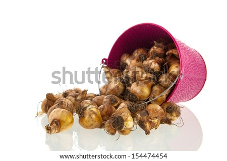 Flower bulbs in pink bucket isolated over white background