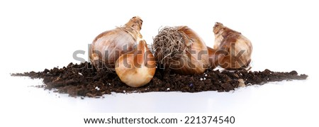 Flower bulbs with soil isolated on white - stock photo