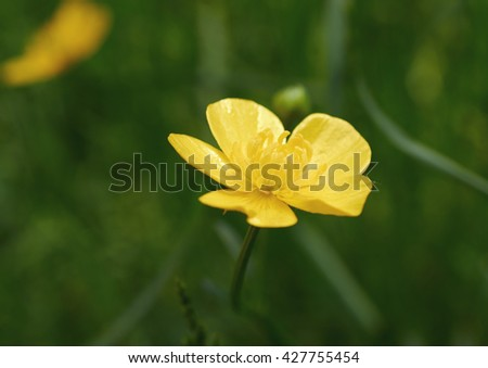 Flower buttercups of close up - stock photo