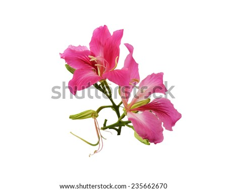 flower,butterfly tree,pink flower isolated on white background   - stock photo