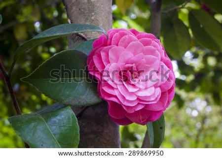 Flower camellia japonica - stock photo