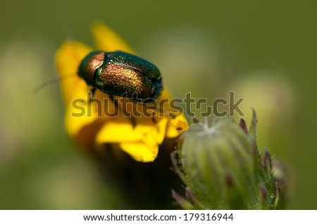 Flower chafer (Cetoniinae) running on the summer flower, Ukraine