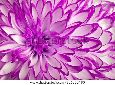 flower (chrysanthemum) and beautiful petals - stock photo