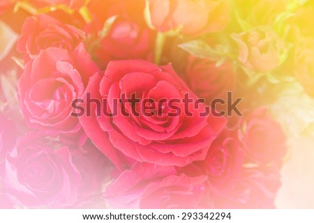 Flower concept: Beautiful red rose flower with color soft filters.