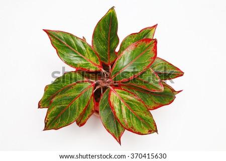 flower Cordy-line - stock photo