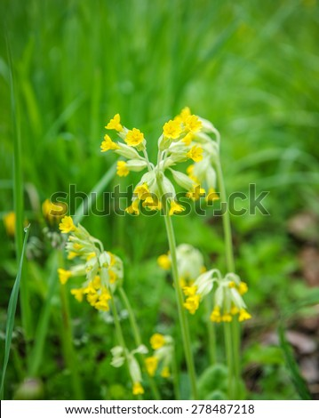 Flower cowslip primula veris in nature outdoors