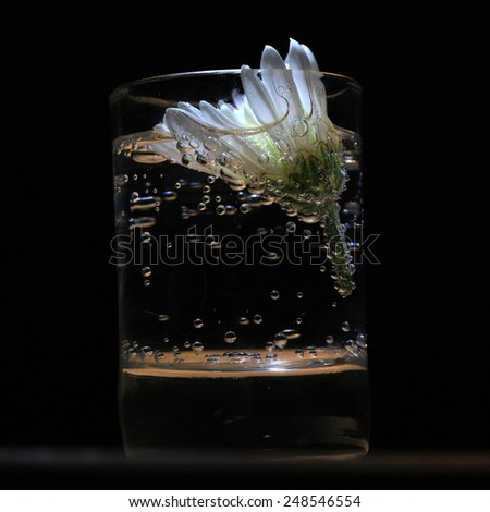 Flower daisies in a glass of water on a black background - stock photo