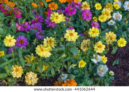 Flower (Daisy Flower, Bellis perennis) white, yellow, orange, purple, pink color, Naturally beautiful flowers in the garden - stock photo