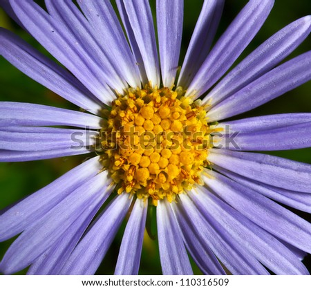 flower dark blue camomile
