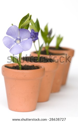 Flower development (periwinkle) - stock photo