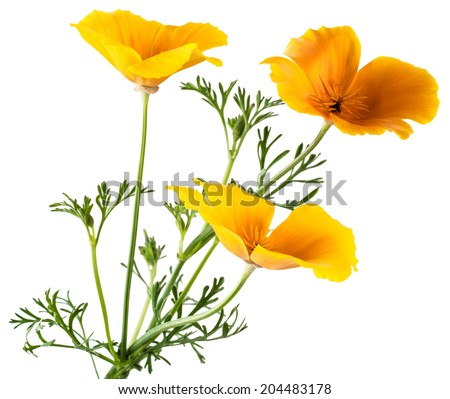 flower Eschscholzia californica (California poppy, golden poppy, California sunlight, cup of gold) isolated on white background shots in macro lens close-up - stock photo