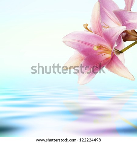 Flower exotic pink lily on a water dawn  background