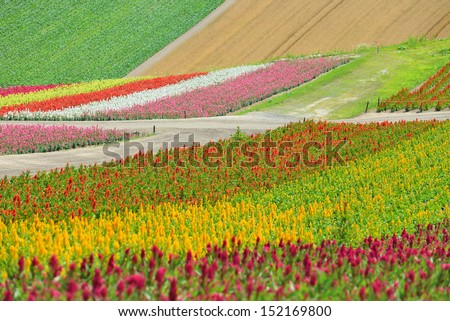 Flower field at Shikisai park (The Hill of Seasonal Colors), Biei, Hokkaido, Japan - stock photo