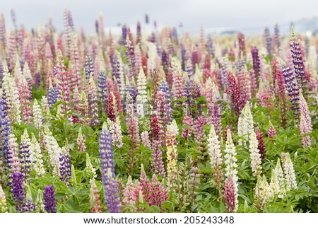Flower field in Japan - stock photo