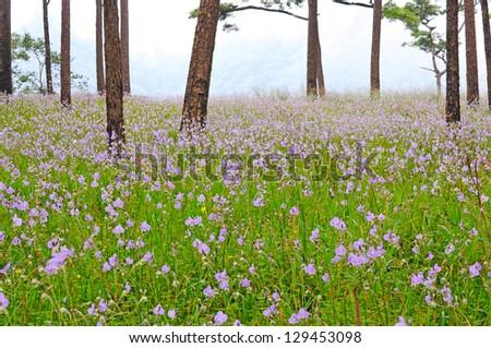Flower field, Murdannia giganteum - stock photo