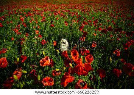 Flower field red poppy seed green stock photo royalty free flower field of red poppy seed with green stem with pomeranian spitz or cute dog pet mightylinksfo