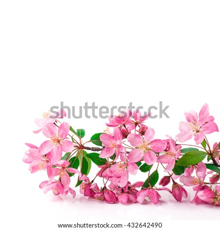 Flower. Floral spring leaf. Beautiful fresh branch with buds. Plant with petals in bloom, blossom. Beauty seasonal nature blooming in april. Delicate tree bunch on white background. - stock photo