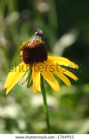 Flower Fly - stock photo