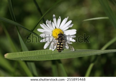 Flower fly (Hoverfly,Syrphidae) drinking from flower. - stock photo