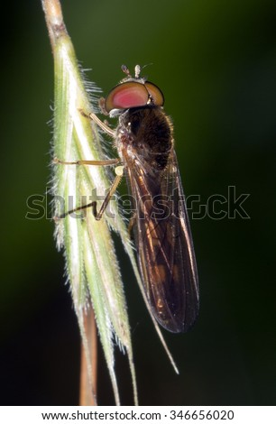 Flower fly (Syrfidae) - stock photo