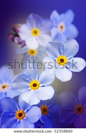 "flower - ""forget-me-not"" - stock photo"