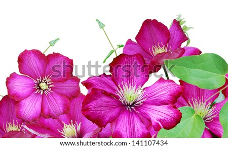 Flower frame: Clematis flowers isolated white background - stock photo