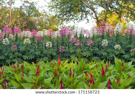 Flower garden in the park, Chinese Wool Flower and Cleome.