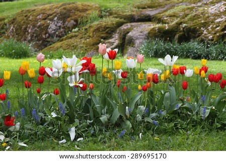 Flower garden - tulips in spring  - stock photo