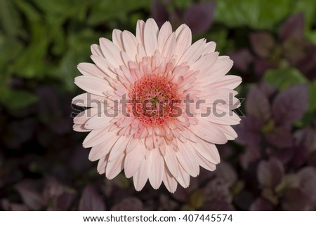 Flower,Gerbera, Barberton daisy:Gerbera jamesonii (Compositae) - stock photo
