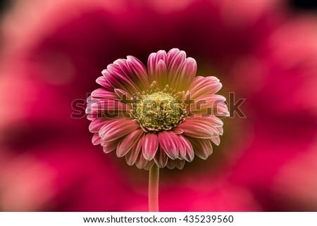 Flower, gerbera, close-up, macro, double exposure. - stock photo