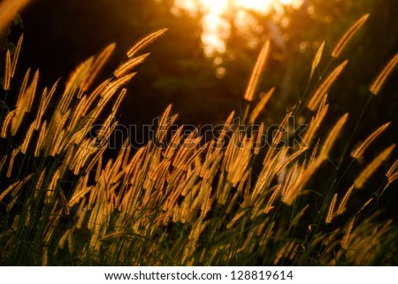 Flower grass being light evening. - stock photo