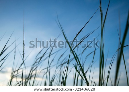 Flower Grass silhouette and  blue sky in evening time