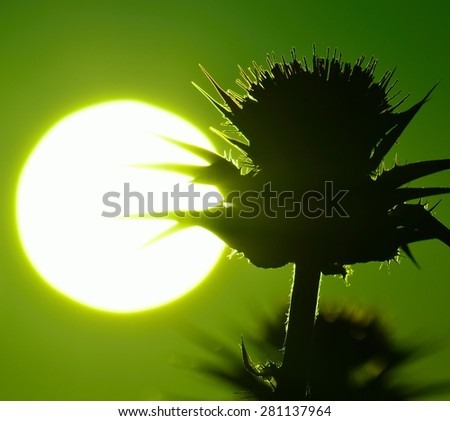 Flower head of milk thistle backlit and great morning sun with  green color effect - stock photo