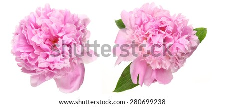 Flower head of peony