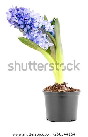 Flower (Hyacinth)  isolated on white background. - stock photo