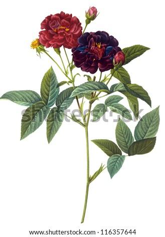 flower illustration - stock photo
