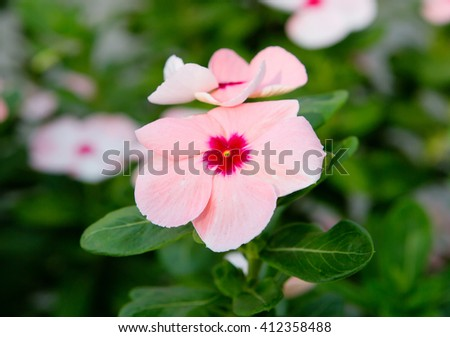 """Flower Impatiens pink For the bright flowers of Impatiens are also called """"spark"""". Colors can be crimson, red and white color. - stock photo"""