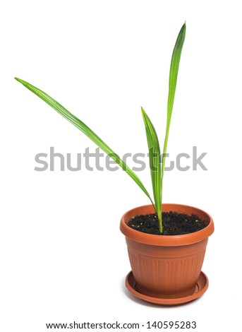 Flower in a pot. Small palm white isolated studio shot