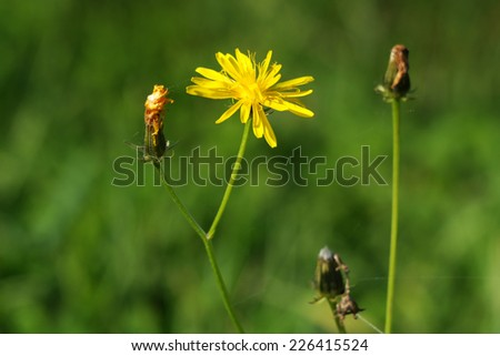 flower in autumn, tragopogon pratensis, Meadow Salsify - stock photo