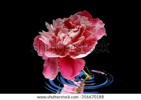 flower in the water on a black background