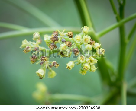 Flower Jatropha on tree in natural of thailand - stock photo