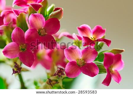 flower  kalanchoe close-up photo - stock photo