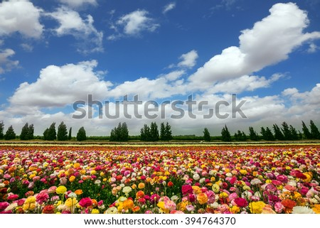 Flower kibbutz on the border with the Gaza Strip. Spring flowering buttercups. The magnificent flower carpet of colorful garden buttercups  - stock photo