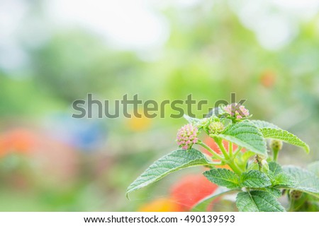 flower  Lantana, Wild sage, Cloth of gold,   in the morning vintage style