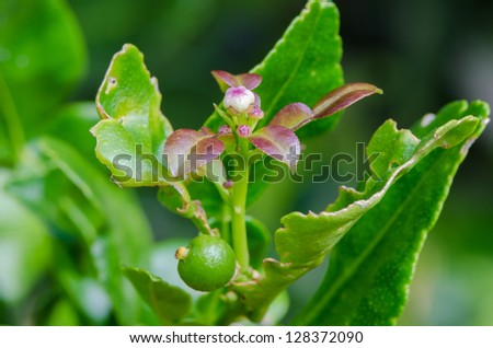 flower leech lime fruits and one leech lime fruits hanging ... Leeches Fruit Tree