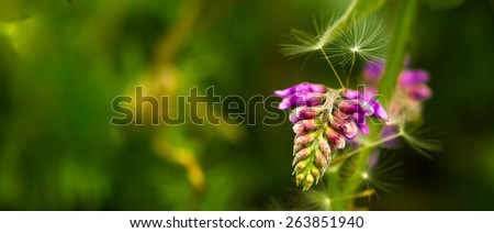 Flower letterbox background. Bird vetch, wild vetch, Vicia cracca flowers - stock photo