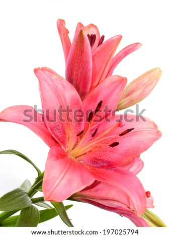Flower lily - stock photo