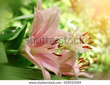 Flower lily in flower garden lit by sunlight - stock photo