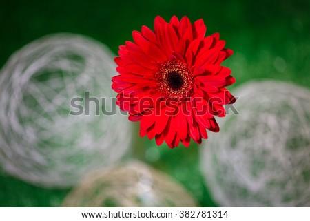 flower macro. Gerber - stock photo