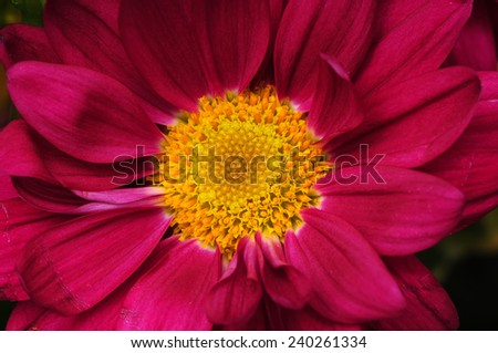 Flower Macro isolated over a black background  - stock photo